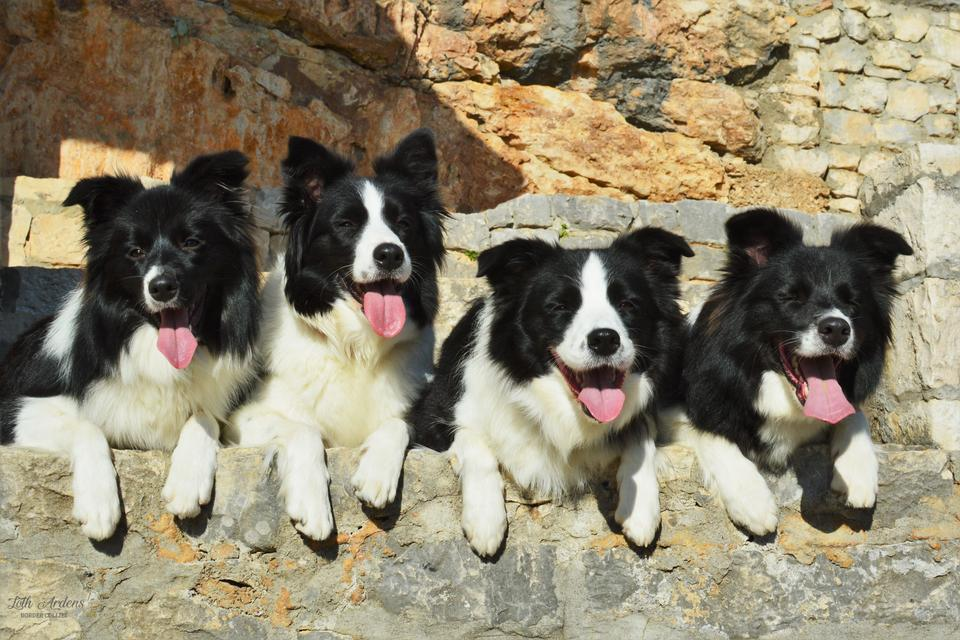 Border Collies relaxing in the sun