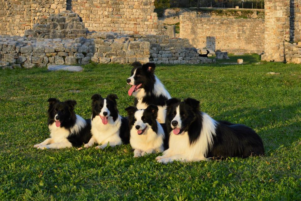 Border Collies posing in antient Salona