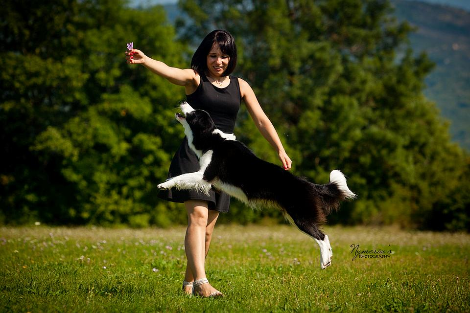 Border Collie Lotta jumping