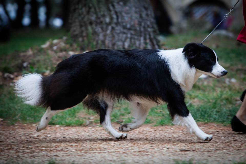 Border Collie Lotta in movement
