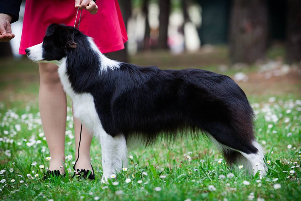 Border Collie Lotta show stance
