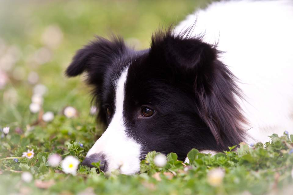 Border Collie Yumi