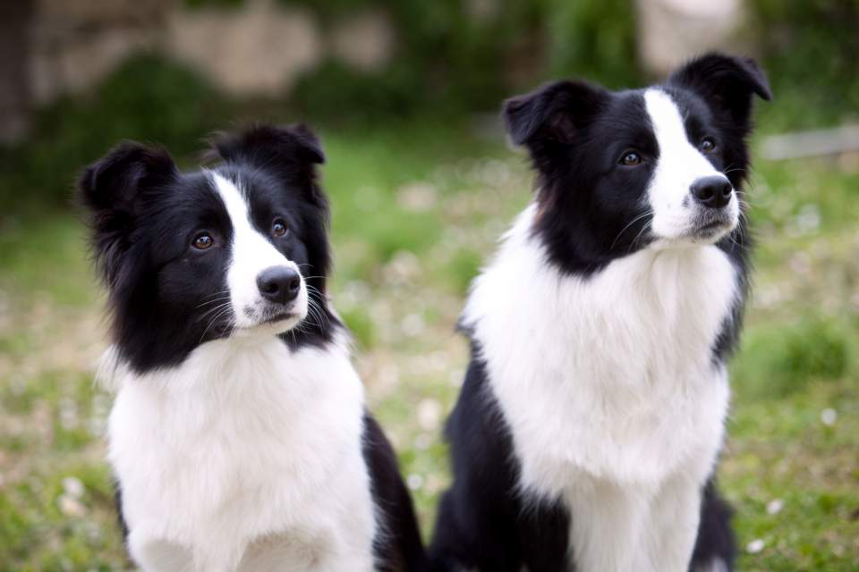 Border Collies Yumi and Lotta