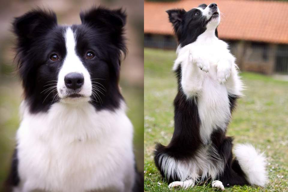 Border Collie Yumi looking good