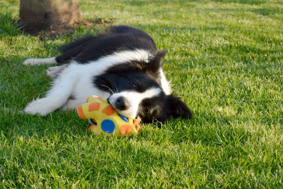 Border Collie Yumi playing